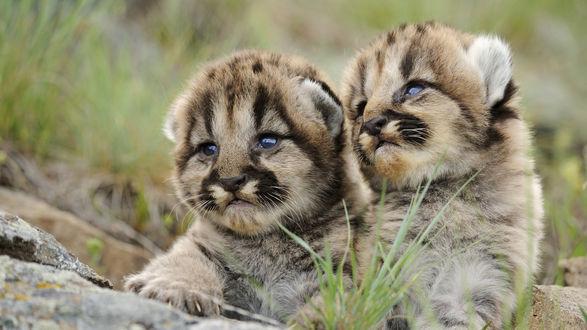 Обои Милые детёныши леопарда