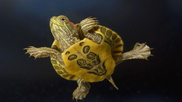 Обои Маленькая морская черепашка прекрасно себя чувствует под водой