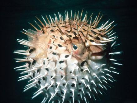 Обои Необычная рыбка, рыба - шар