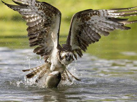 Обои Удачная орлиная охота на воде