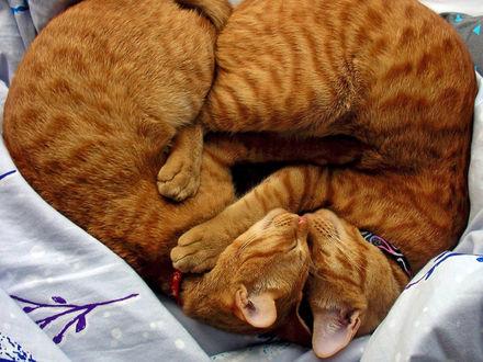 Обои Два рыжих кота спят обнявшись