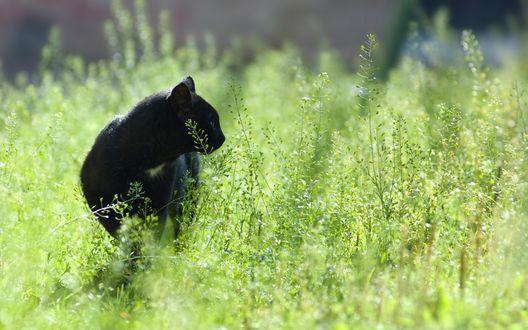 Обои Черная кошка в траве, на охоте