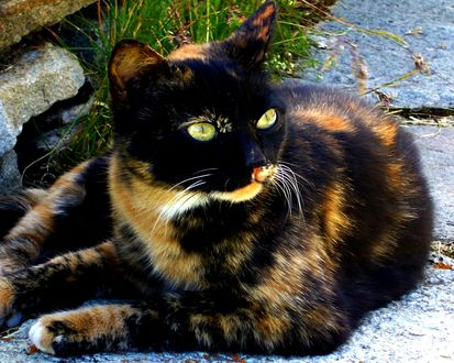 Обои Чёрно-рыжий кот