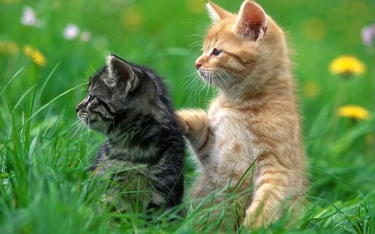 Обои Два котёнка в траве