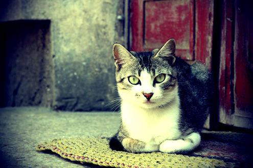 Обои Кошка лежит на коврике возле подъезда