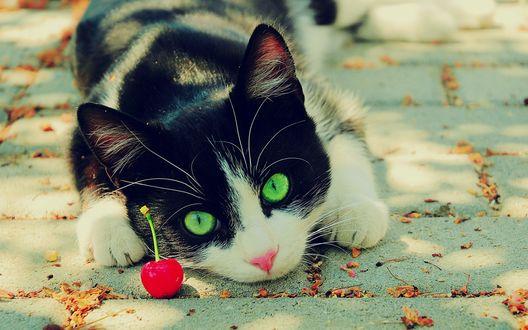 Обои Зеленоглазая кошка и вишенка