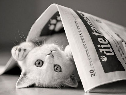 Обои Белый котенок лежит на спине под газетой