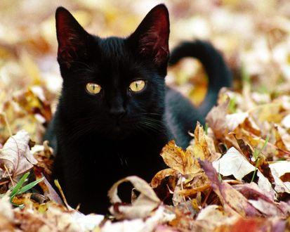 Обои Чёрная кошка в осенней листве