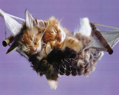 Обои Котята уютно расположились в гамаке