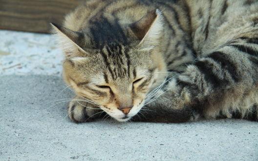 Обои Полосатый кот дремлет