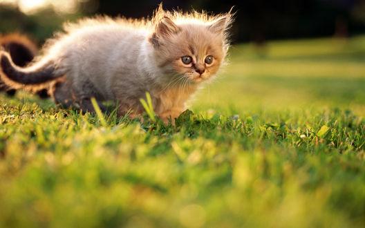 Обои Маленький котёнок на траве