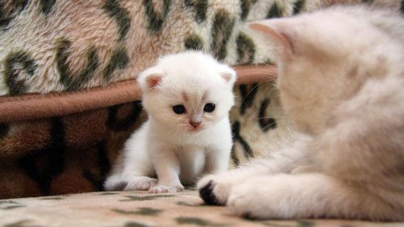 Обои Кошка внимательно наблюдает за своим котёнком