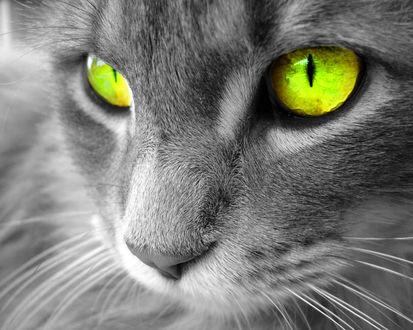 Обои Красивые зелёные кошачьи глаза