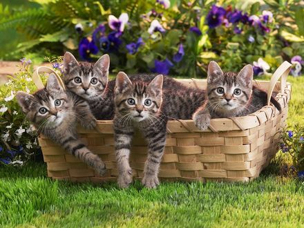 Обои Котята любопытно выглядывают из корзинки