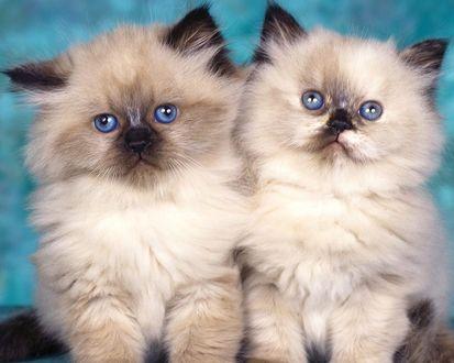 Обои Пара симпатичных котят - персов