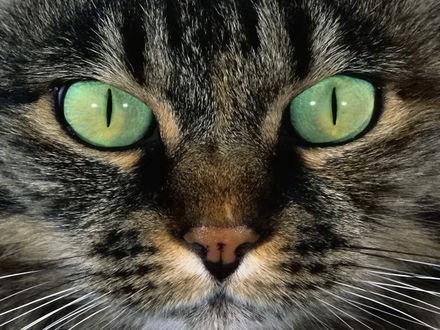Обои Зеленые глаза кошки