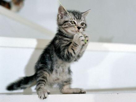 Обои Полосатый котёнок нашел игрушку