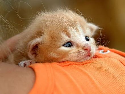 Обои Малюсенький рыжий котёнок на плече