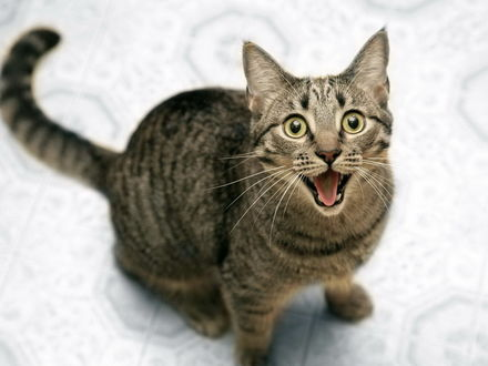 Обои Кот увидел кусок мяса и требовательно кричит