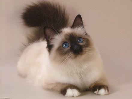 Обои Персидская кошка вся внимания
