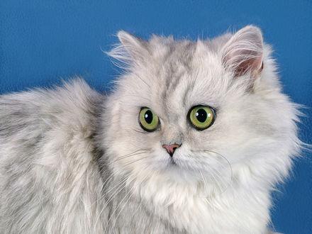 Обои Красивая персидская кошка