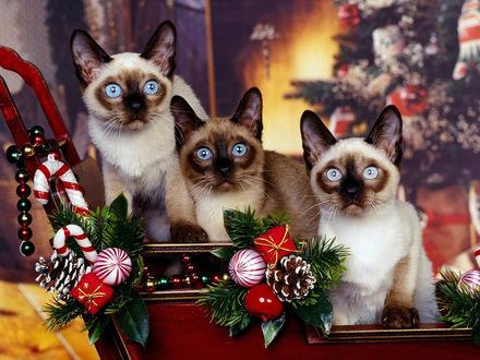 Обои Сиамские котята готовы к встрече Нового Года
