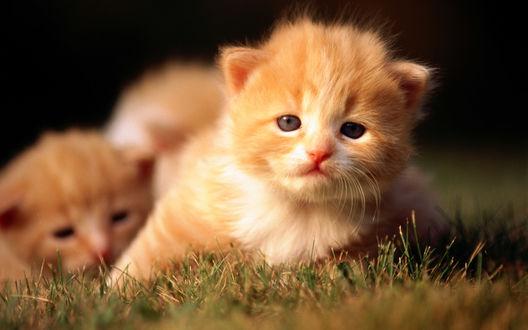 Обои Рыжие персидские котята в траве