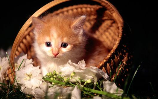 Обои Рыжий котёнок в корзинке, рядом цветы