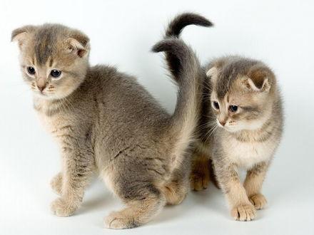 Обои Вислоухие котята