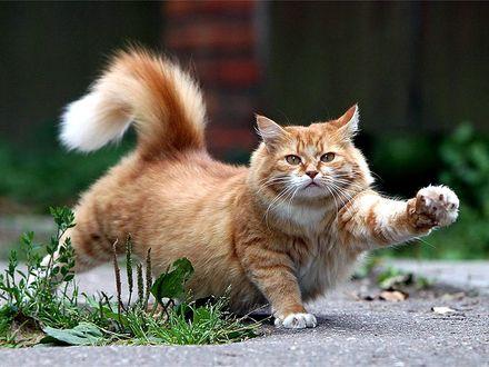 Обои Потягивания рыжего кота ранним утром