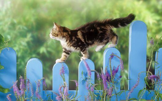 Обои Красивая кошка гуляет по синему забору