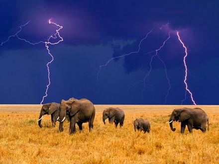 Обои Слоны в саванне