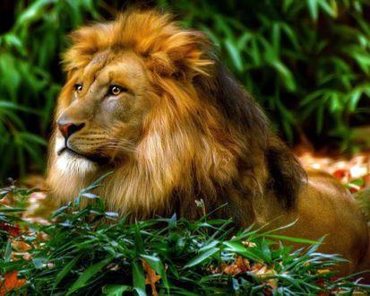 Обои Царь зверей - лев