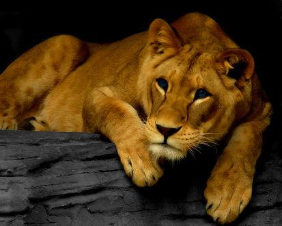 Обои Львица притомилась и отдыхает