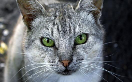 Обои Киса с красивыми зелеными глазами