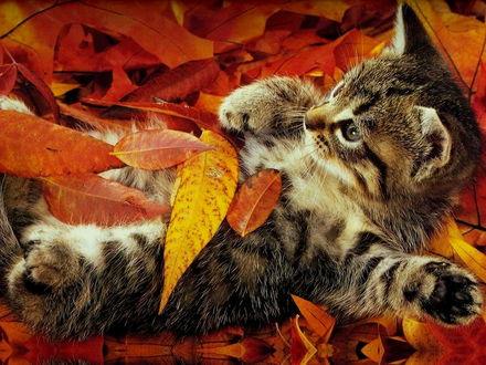 Обои Котёнок в осенних листьях