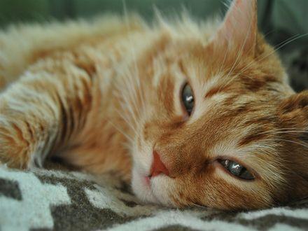 Обои Счастливый рыжий кот