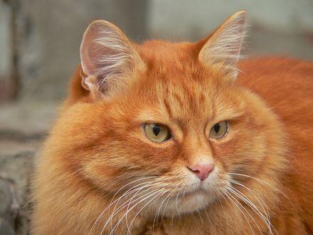 Обои Толстый, рыжий кот