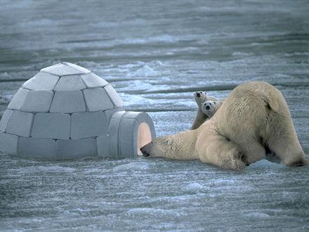 Обои Белая медведица с медвежатами разглядывают непонятную конструкцию