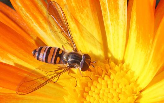 Обои Пчела за сбором нектара