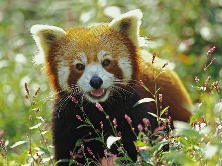 Обои Красная панда на цветочной поляне