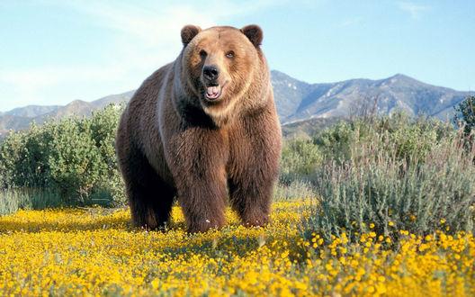 Обои Красавец бурый медведь на цветочной поляне на фоне гор
