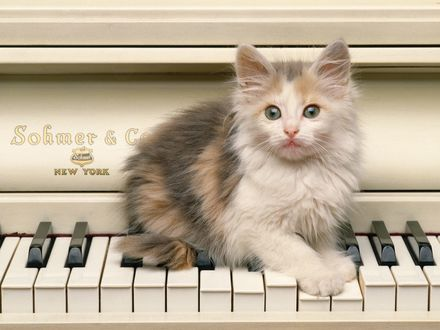 Обои Котёнок пристроился на клавишах пианино
