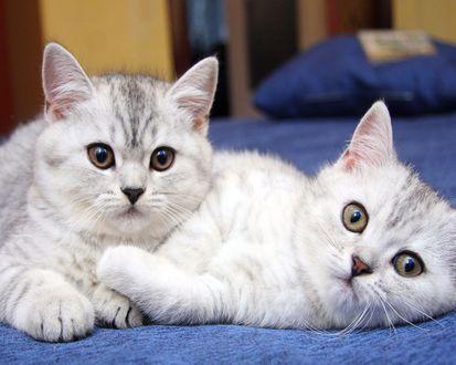 Обои Два симпатичных серых котёнка
