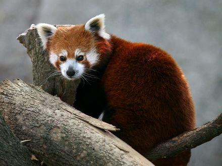 Обои Красная панда  вымирающий вид , так как осталось всего 2,500 особей