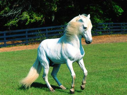 Обои Лошадь белой масти на прогулке