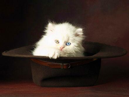Обои Разноглазый котенок в шляпе