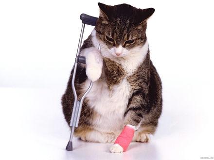 Обои Кот сломал лапку
