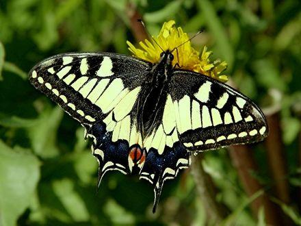 Обои Бабочка - махаон сидит на желтом одуванчике