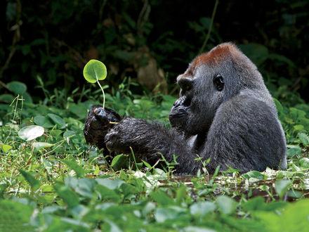 Обои Горилла сидит в болотце и разглядывает листочек